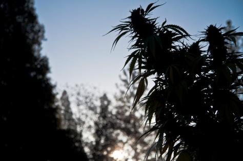 Marijuana 01